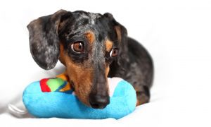 dachshund02.jpg