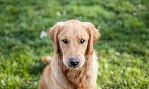 goldenPuppy02-c72.jpg